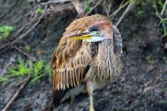 Фиолетовый конец цапли вверх Птица стоит на том основании и смотрит в камеру Стоковые Фото