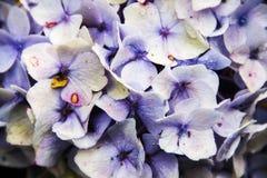 Фиолетовый конец цветка гортензии вверх Стоковая Фотография