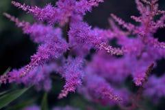 Фиолетовый конец astilbe вверх, декоративные цветки, темное изображение, conce стоковое изображение rf