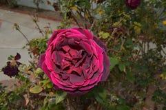 Фиолетовый красный циркуляр цветет задняя часть дома полных цветений Стоковые Фотографии RF