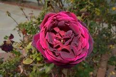 Фиолетовый красный циркуляр цветет задняя часть дома полных цветений Стоковое Изображение