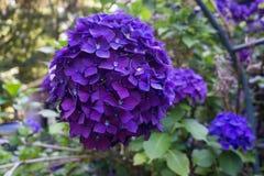 Фиолетовый крупный план 5 цветений гортензии Стоковая Фотография RF