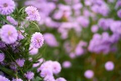 Фиолетовый крупный план цветка в местной плантации Стоковые Изображения