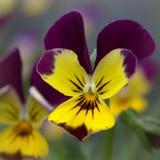 Фиолетовый макрос цветка Стоковые Изображения