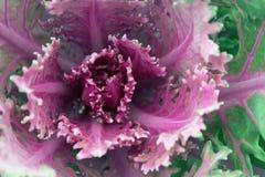 Фиолетовый орнаментальный завод капусты Стоковые Фотографии RF