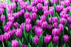 Фиолетовый, фиолетовый, предпосылка тюльпанов сирени Лето и концепция весны, космос экземпляра Поле цветков тюльпана в солнечном  Стоковые Фото