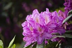 Фиолетовый рододендрон весной стоковая фотография