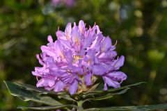 Фиолетовый рододендрон в цветени Стоковые Изображения