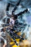 Фиолетовый тарантул Pinktoe на стекле Стоковое Изображение RF