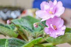 Фиолетовый фиолет цветка пурпур бака цветков Стоковая Фотография RF