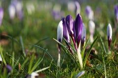 Фиолетовый цветок весны крокуса стоковые фотографии rf