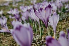 Фиолетовый цветок в горах стоковая фотография rf