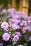 Фиолетовый цветок в местной плантации Стоковые Фото