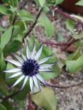Фиолетовый цветок, в саде моего дома Стоковое Изображение