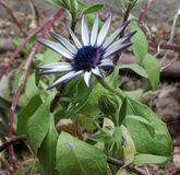 Фиолетовый цветок, в саде моего дома Стоковая Фотография