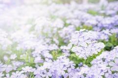 Фиолетовый цветок в саде на святой день и счастливый день Стоковая Фотография