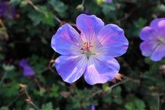 Фиолетовый цветок в цветке предпосылки whit сада холодном хлопает вне Стоковые Изображения