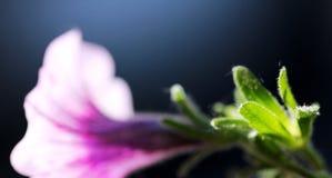 Фиолетовый цветок загоренная весной солнечность Стоковые Изображения