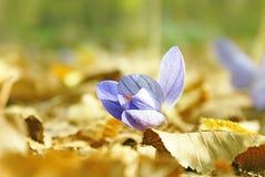 Фиолетовый цветок крокуса на желтом цвете выходит outdoors Стоковое Изображение RF