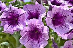 Фиолетовый цветок петуньи в саде стоковое фото