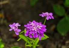 Фиолетовый цветок поля Стоковое Фото