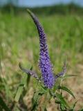 Фиолетовый цветок поля Стоковые Изображения