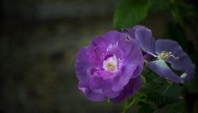 Фиолетовый цветок розы с белой серединой Стоковая Фотография