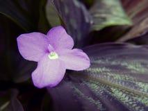 Фиолетовый цветок с зелеными листьями Стоковые Фото