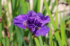 Фиолетовый цветок тигра Стоковая Фотография