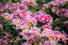 Фиолетовый цветок хризантемы зацветает в саде Стоковые Фото