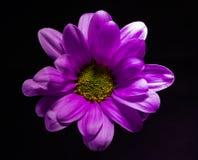 Фиолетовый цветок хризантемы на черноте стоковые изображения rf