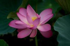 Фиолетовый цветок цветения лотоса Стоковые Изображения RF