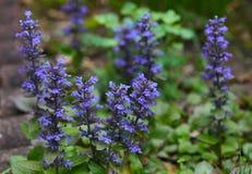 Фиолетовый цветок Bugleweed стоковое фото rf