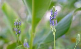 Фиолетовый цветок Chia берет предпосылку на острие Стоковое Изображение