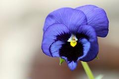 Фиолетовый цветок pansy Стоковые Изображения RF