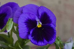 Фиолетовый цветок pansy стоковая фотография rf