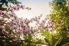 Фиолетовый цветок (speciosa Lagerstroemia) с зеленой предпосылкой разрешения Speciosa Lagerstroemia также известное как гигант cr Стоковые Фото