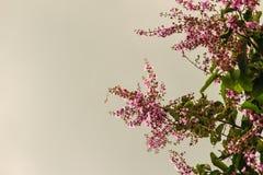 Фиолетовый цветок (speciosa Lagerstroemia) с зеленой предпосылкой разрешения Speciosa Lagerstroemia также известное как гигант cr Стоковые Изображения