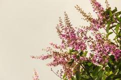 Фиолетовый цветок (speciosa Lagerstroemia) с зеленой предпосылкой разрешения Speciosa Lagerstroemia также известное как гигант cr Стоковые Изображения RF