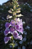Фиолетовый шип цветка floxglove стоковое фото