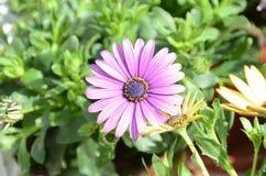 Фиолетовый Gerbera в природе стоковая фотография rf