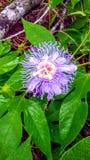 Фиолетовый Passionflower & x28; Incarnata& x29 пассифлоры; стоковые изображения rf