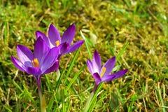 3 фиолетовых цветка крокуса в траве на весне стоковые изображения