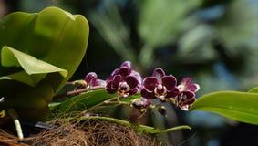 Фиолетов-белая запятнанная цветя мини орхидея в цветени, мини phalenopsis Стоковые Фотографии RF