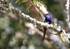 Фиолетов-бородатый пчел-едок в национальном парке Lindu профессиональных знаний, острове Сулавеси, Индонезии стоковое фото