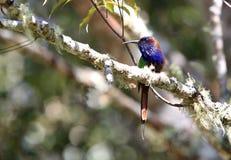 Фиолетов-бородатый пчел-едок в национальном парке Lindu профессиональных знаний, острове Сулавеси, Индонезии стоковая фотография