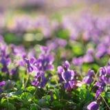 Фиолеты в солнечном предыдущем саде весны стоковые фото
