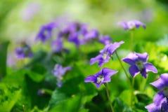 фиолеты Стоковые Фото