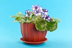 фиолет бака цветков Стоковые Изображения