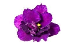 фиолет изолированный темнотой Стоковая Фотография